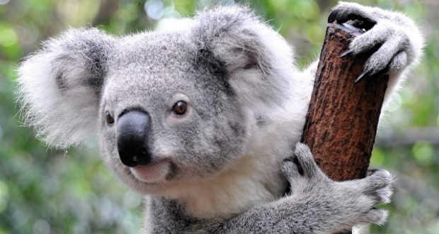 koala_001